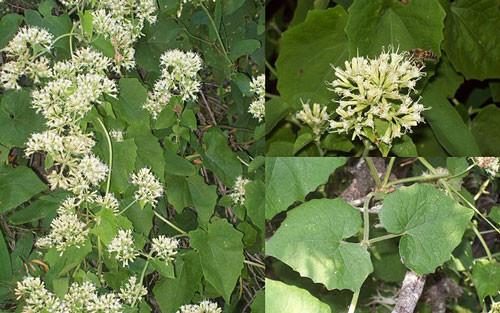 guaco mikania-cordifolia-.jpg