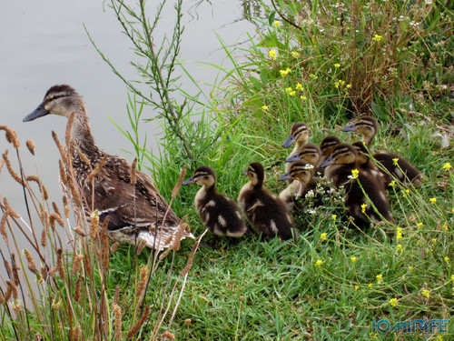 Nasceram patinhos e a família cresceu no parque do Oásis na praia da Figueira da Foz (1) [en] Mother duck and ducklings in Oasis Park in Figueira da Foz