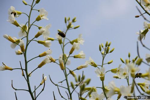 Abelhas a tirar o pólen das flores (10)