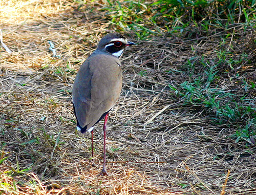 Bronze-winged Courser.jpg