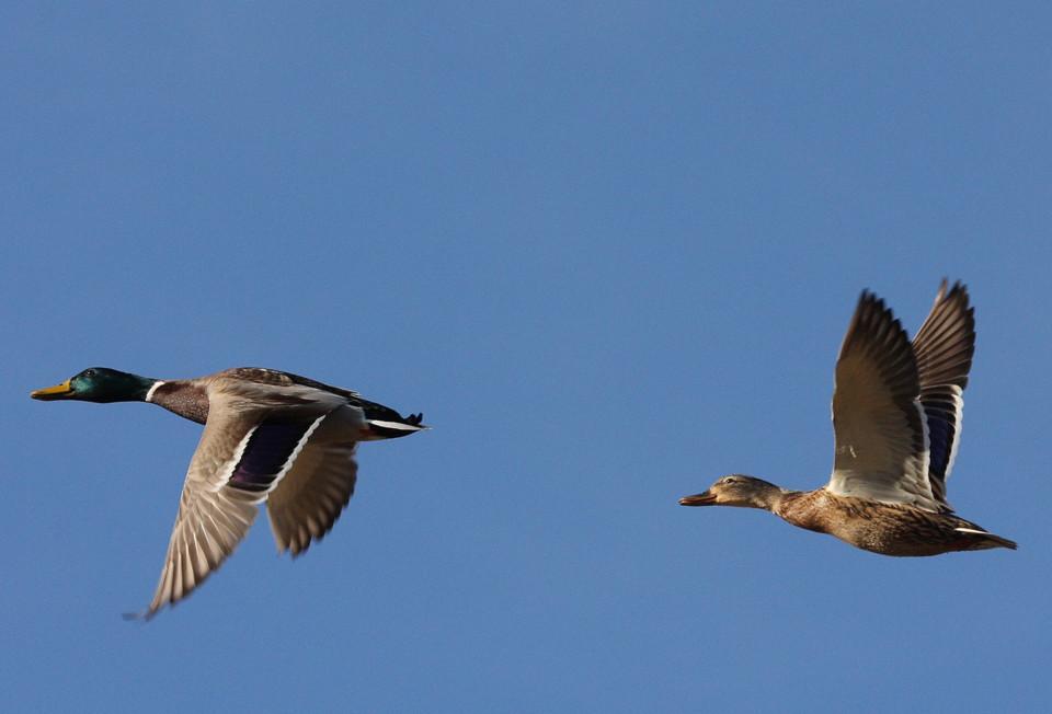 Aquelas asas que esvoaçam....jpg