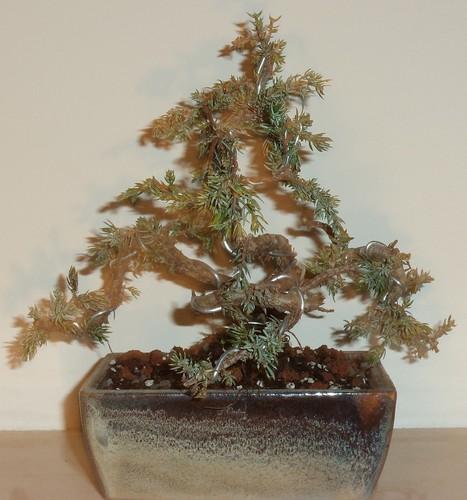 Junipero japão - Museu bonsai SIntra