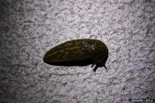 Lesma / Slug (59)
