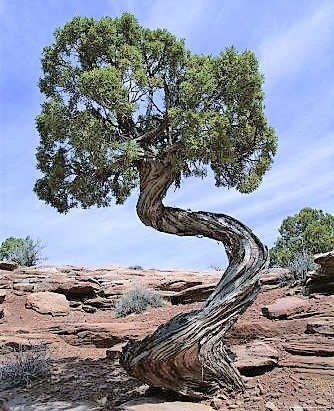 a7661dbb56e9ca514073b14c8be71ca8--juniper-tree-bui