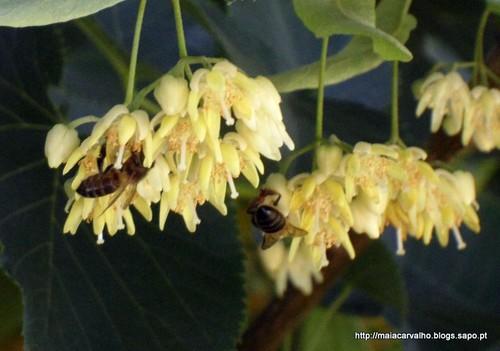 Abelhas libando flores de tília.