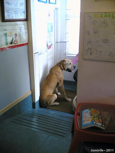 Um enorme cão no veterinário