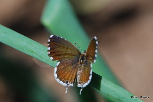 Cacyreus marshalli (introduzida).