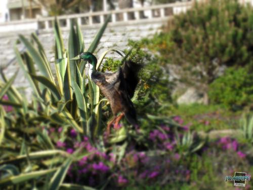 Patos no Oásis de praia Figueira da Foz - Voando
