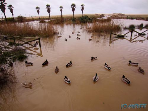 Jardim Oasis da Figueira da Foz inundado - Patos [en] Garden Oasis Figueira da Foz flooded - Ducks