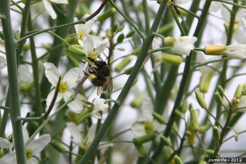 Abelhas a tirar o pólen das flores (7)