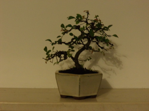 Bonsai Ulmeiro Chines