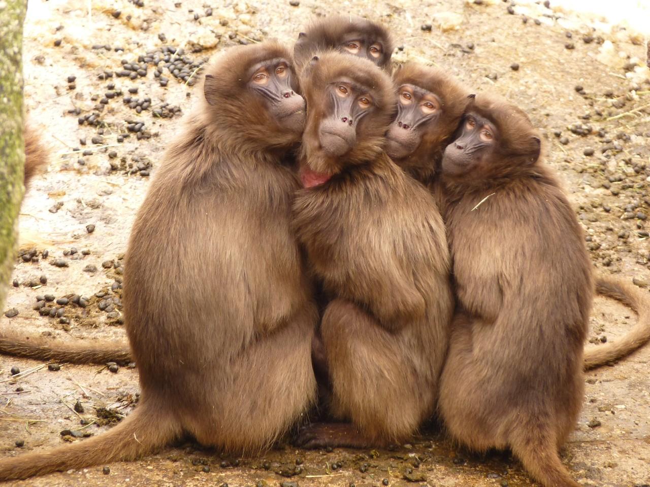 baboons-4371.jpg