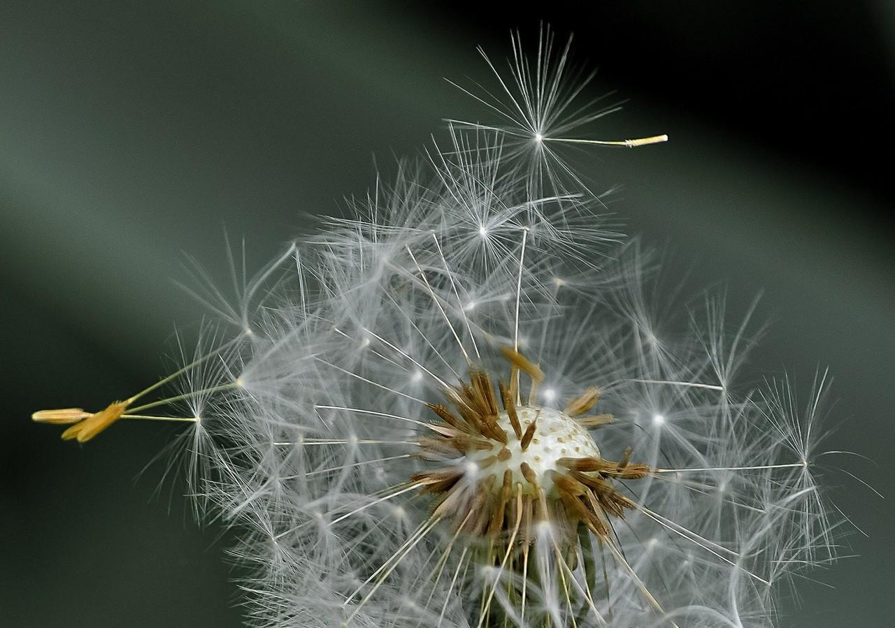 dandelion-411756_1920.jpg