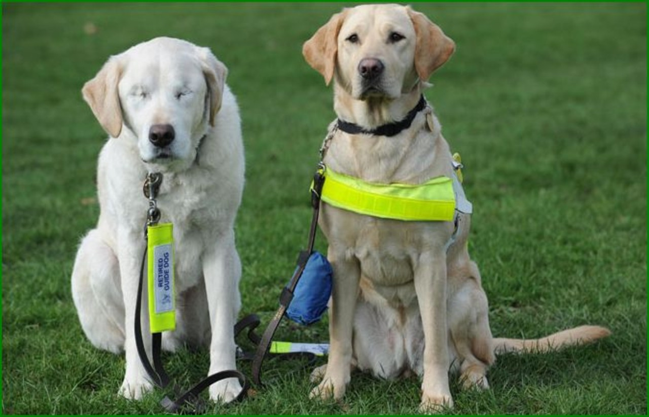 What Are Seeing Eye Dogs Called