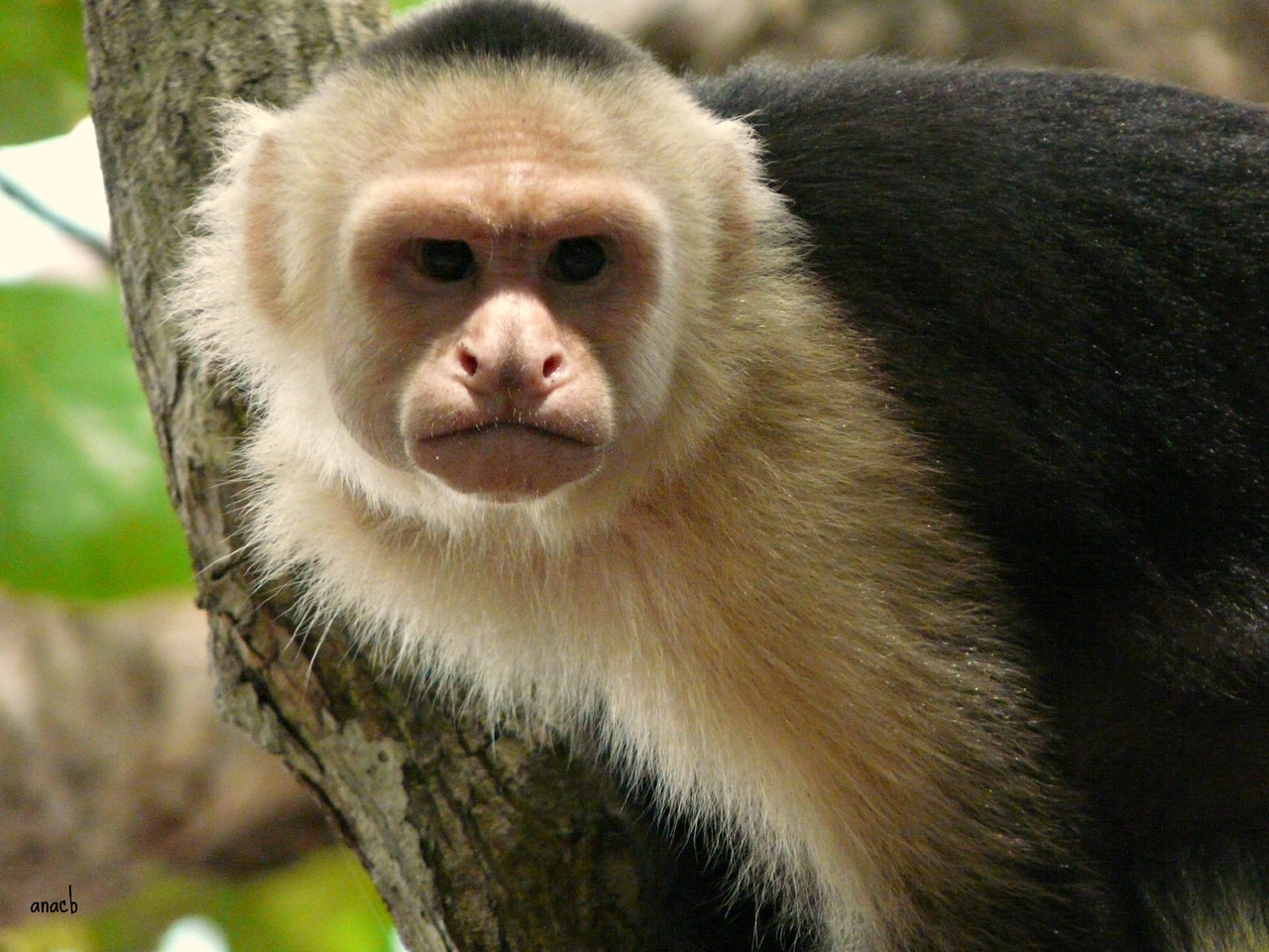 Parque Manuel Antonio-macaco-capuchinho (1).jpg