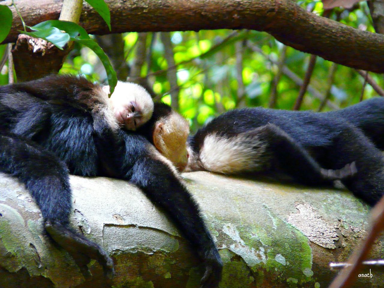 Parque Manuel Antonio-macaco-capuchinho (2).jpg