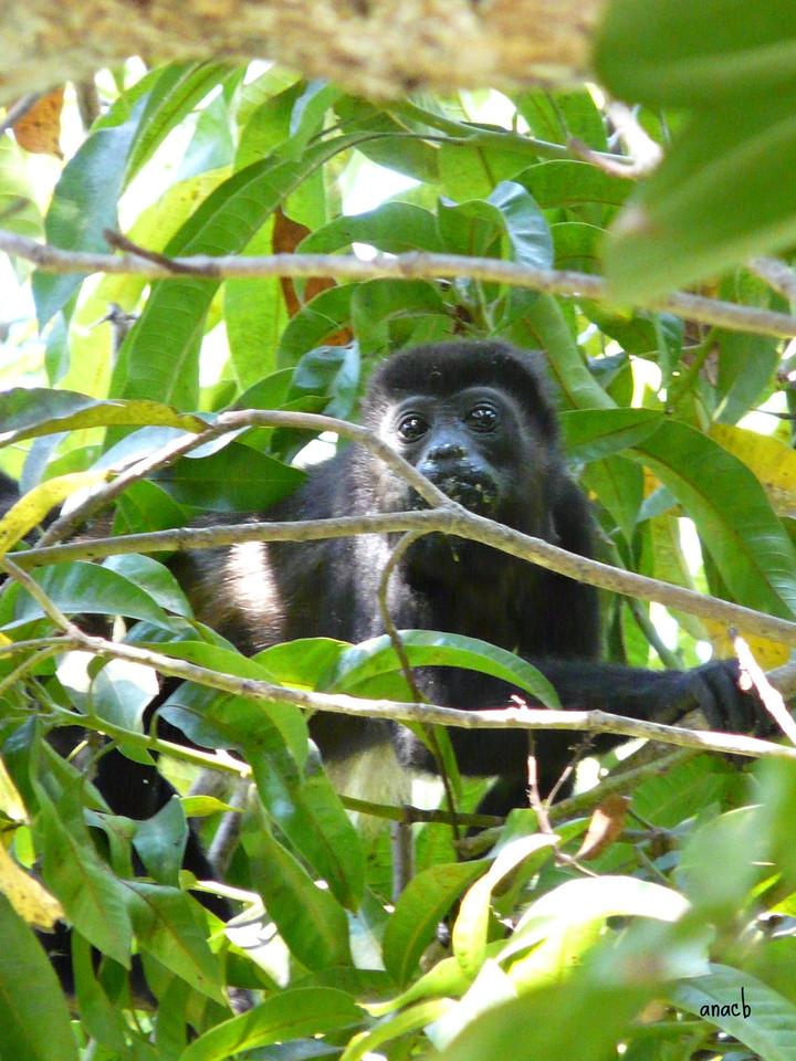 San Juanillo-Hotel El Sueño-macaco uivador (3).jp