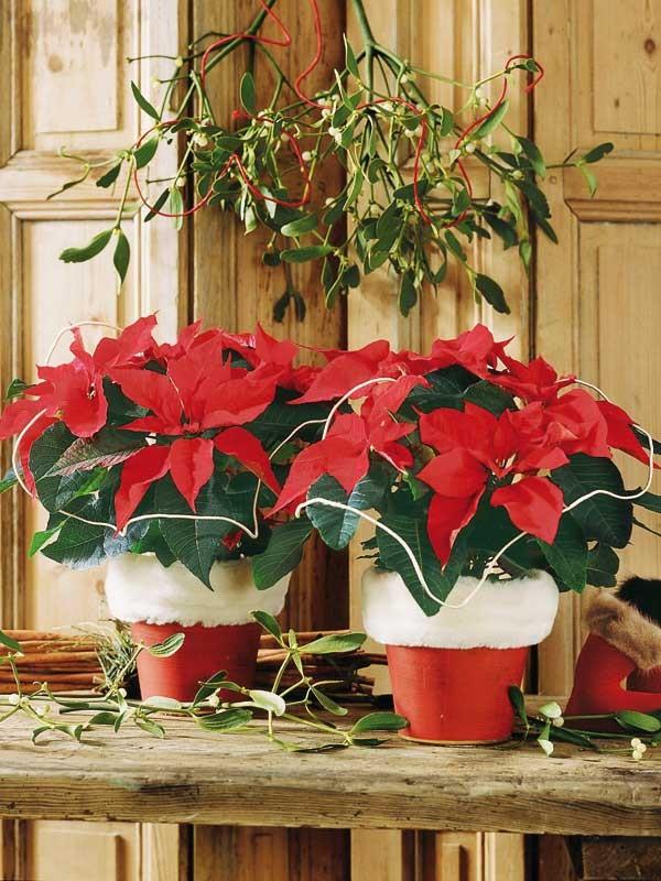 Decoração-com-Flor-de-Natal-no-jardim.jpg