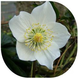 Rosa de Natal - Planfor