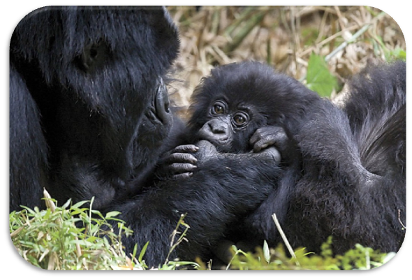 gorilas montanheses
